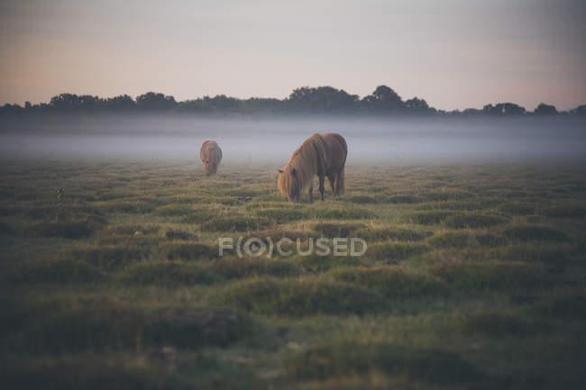 Chevaux paissant sur le champ par temps brumeux — Photo de stock