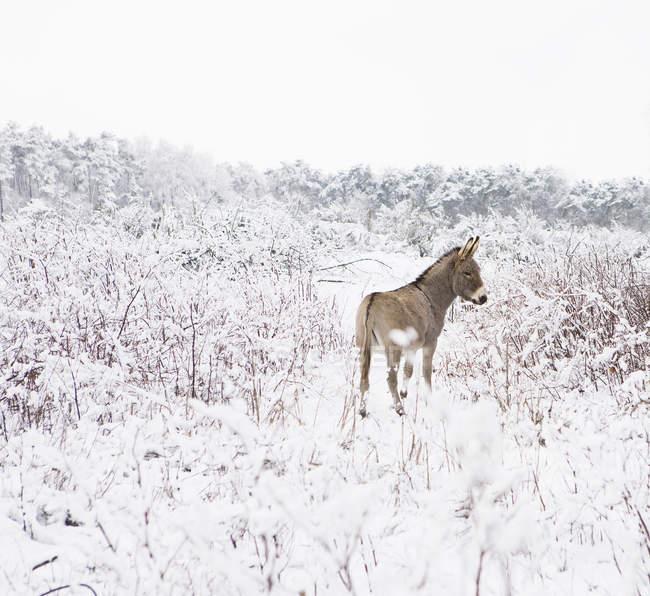 Rear view of donkey standing in snowy field — Stock Photo