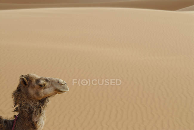 Side view of camel on background of sand desert — Stock Photo