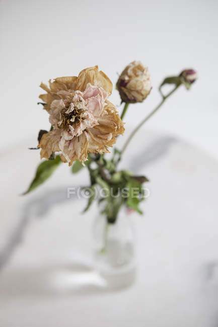Крупный план сушки цветка в вазе на белом фоне — стоковое фото