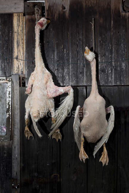 Two dead geese hanging on rustic wooden wall — Stock Photo