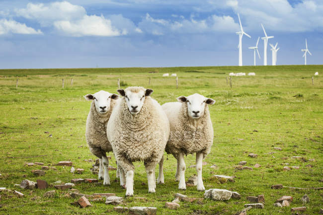 Three sheep on pasture with wind turbines on background — Stock Photo