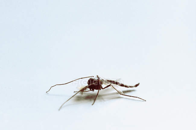 Close up of two winged insect on white backdrop — Stock Photo