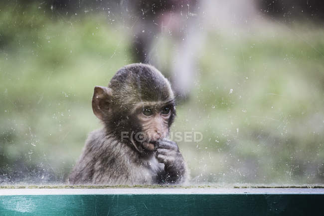 Young thoughtful monkey looking through window — Stock Photo