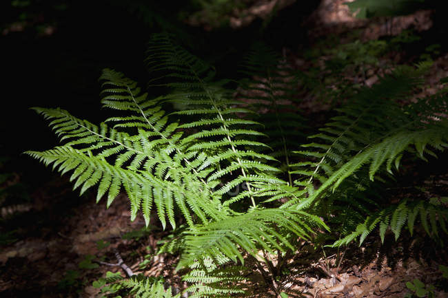 Fern plant in sunlight at dark forest — Stock Photo