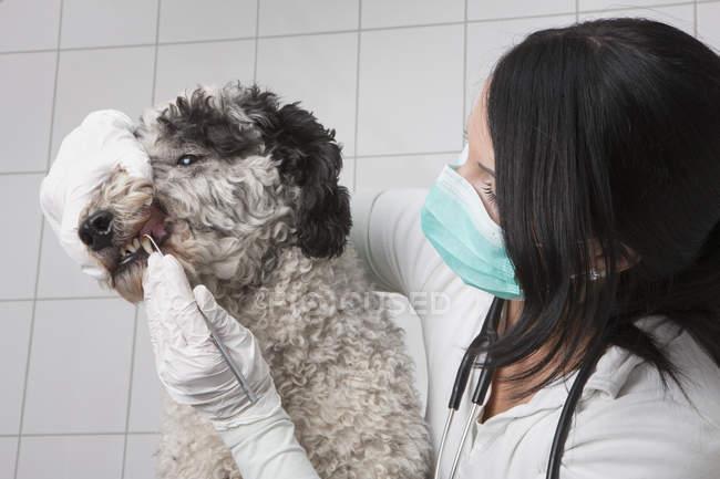 Joven veterinario limpieza perros dientes en la clínica - foto de stock