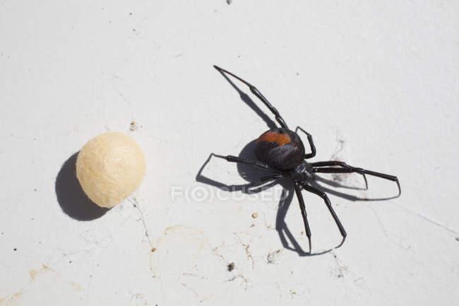 Tiro diretamente acima da aranha de redback com casulo na superfície — Fotografia de Stock