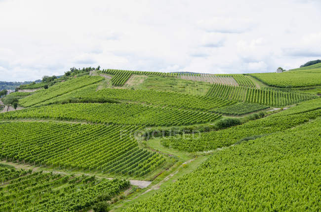Idyllic view of vineyard at hill slope on summer day — Stock Photo