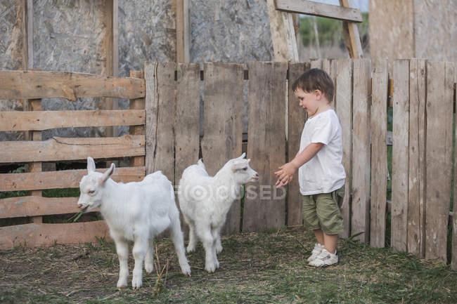 Милый мальчик играет с козлёнками на открытом воздухе — стоковое фото