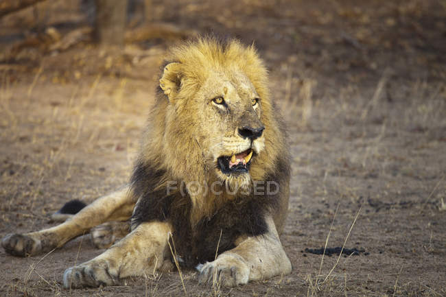 Male lion lying down on ground in safari — Stock Photo