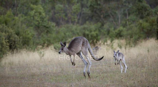 Canguru bebê seguindo a mãe natureza — Fotografia de Stock