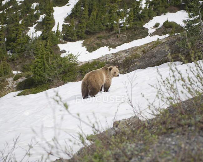 Vue latérale de l'ours sur le versant des montagnes couronnées de neige — Photo de stock