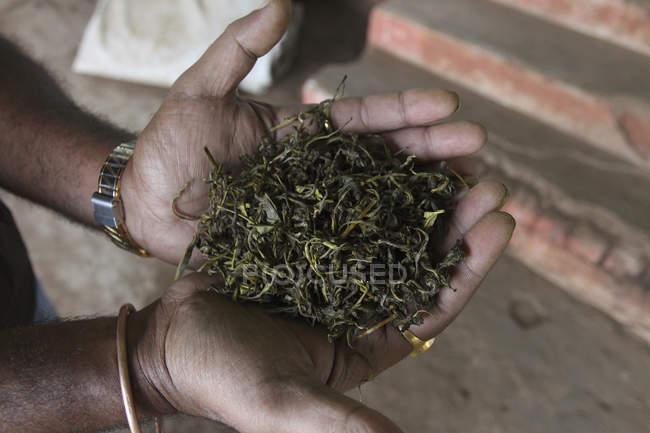 Закри жмені проведення чаю листя — стокове фото