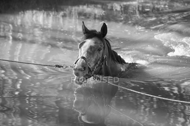 Кінь зв'язали мотузками прогулянки по воді — стокове фото