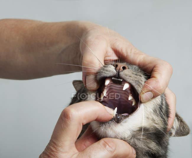 Beschnittene Hände von Tierarzt öffnen Katzenmund in Klinik — Stockfoto