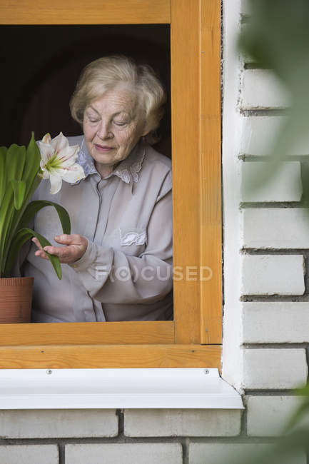 A senior woman tending to a lily houseplant on the window sill, viewed through window — Stock Photo