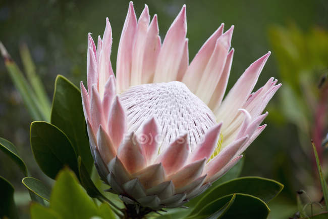 Close up view of big pink flower — Stock Photo