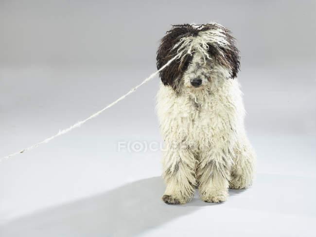 Cane con corda seduta su sfondo bianco — Foto stock