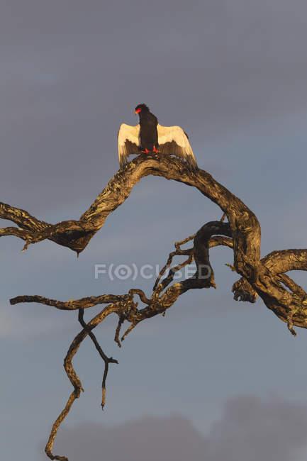 Bateleur орел готувався до відльоту з голими гілки — стокове фото