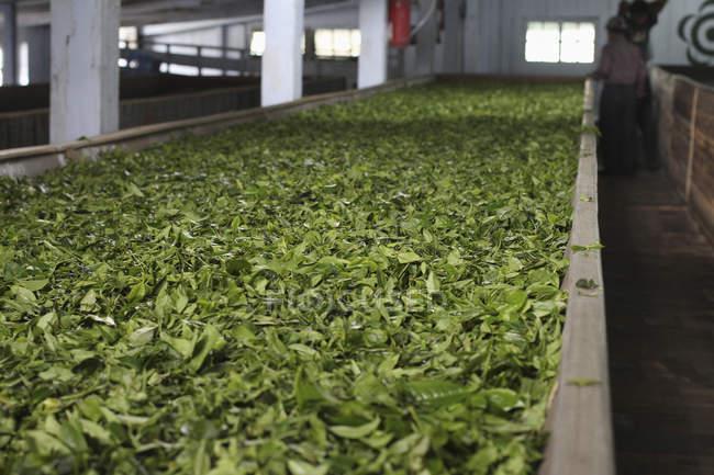 Vista en perspectiva a las hojas de té secado en fábrica - foto de stock
