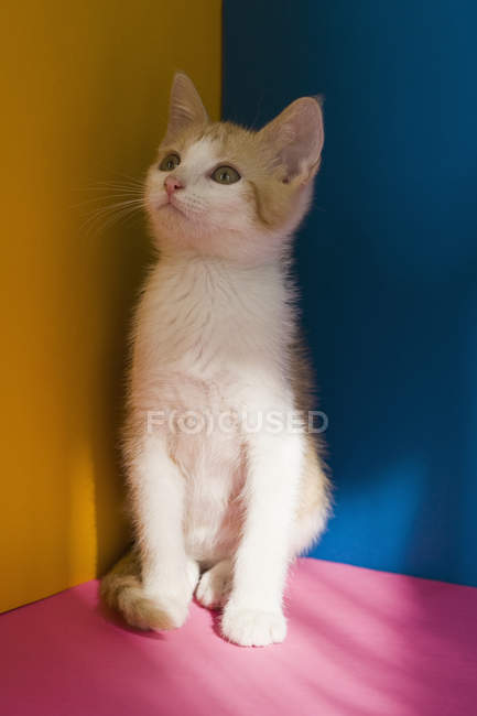 Cute kitten at colorful corner looking up — Stock Photo