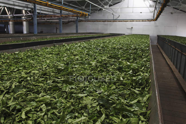 Hojas de té secado en envase grande - foto de stock