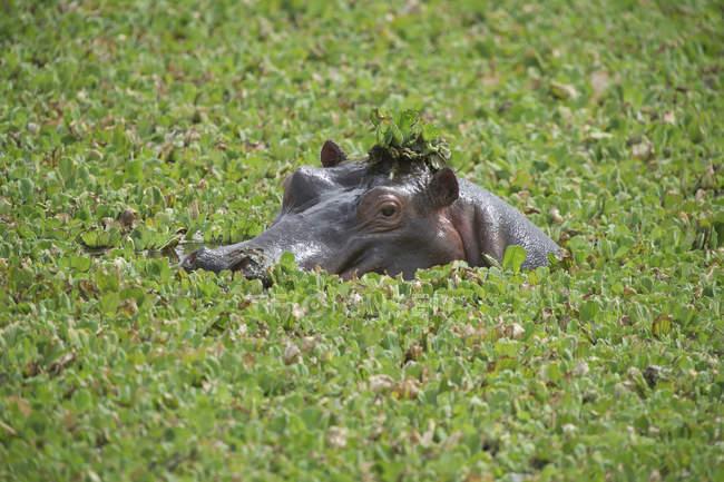 Fernsicht auf Nilpferd liegend unter Pflanzen — Stockfoto