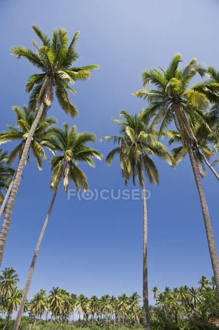 Vue de dessous de palmiers contre le ciel clair — Photo de stock