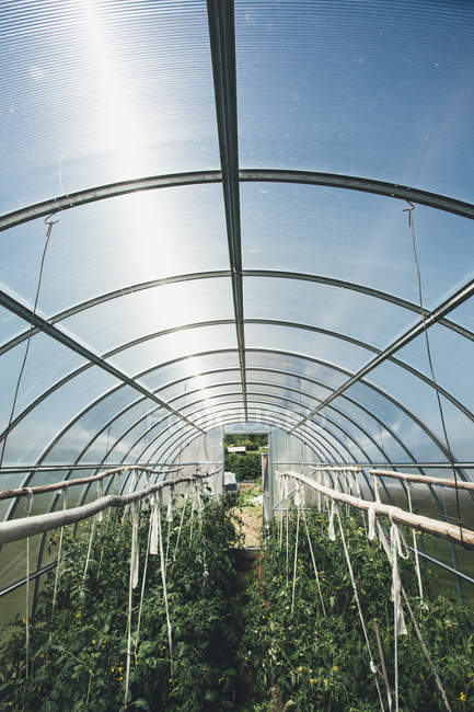 View of vegetable plants growing in greenhouse — Stock Photo