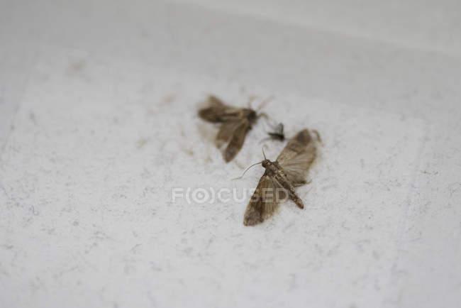 Cerrar vista de polillas muertas sobre la superficie blanca - foto de stock
