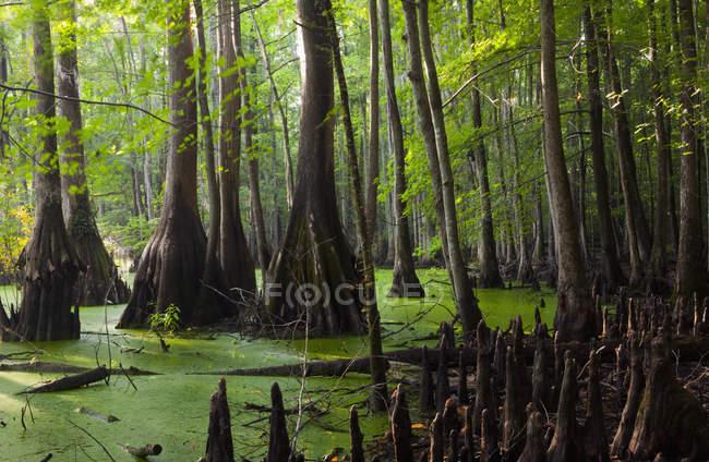 Scène de marais dans les forêts vert foncé — Photo de stock
