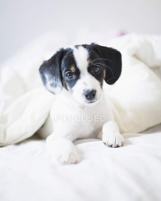 Close up portrait of puppy covered in blanket on bed — Stock Photo