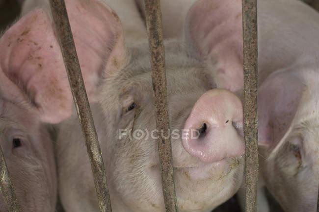 Vue rapprochée des porcs en enclos à la ferme — Photo de stock