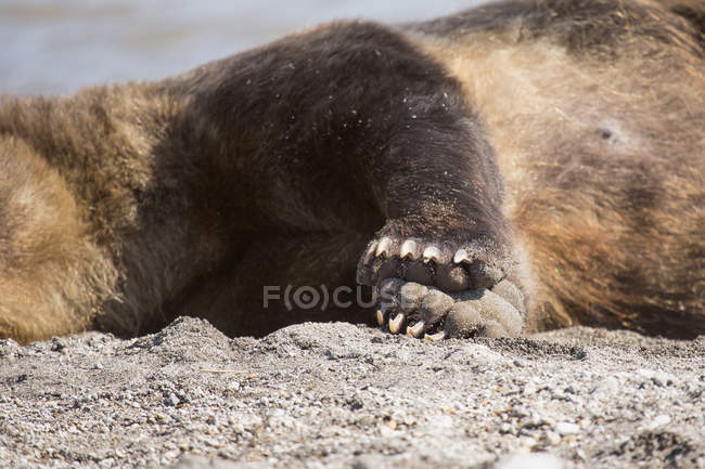 Midsection of brown bear resting on lakes hore — Stock Photo