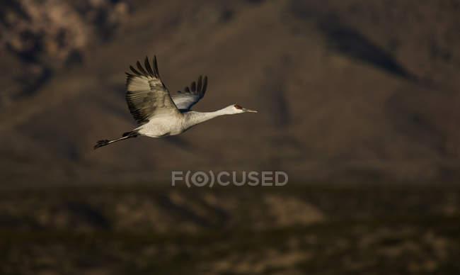Sandhill Crane volando a natura a mezz'aria — Foto stock