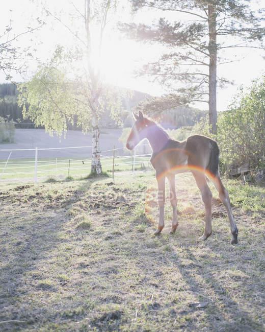 Seitenansicht der Fohlen stehen im Feld an sonnigen Tag — Stockfoto