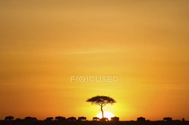 Silhouettes of wildebeests walking on skyline against sunset sky — Stock Photo