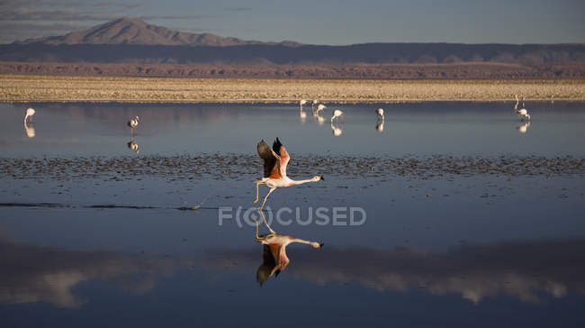 Herde von Flamingos am Salzsee am Sonnenuntergang — Stockfoto