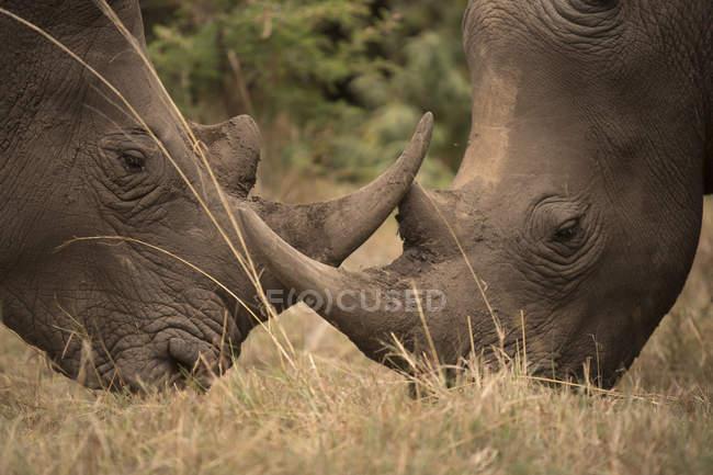 Vue latérale de deux rhinocéros paître dans le champ de safari — Photo de stock