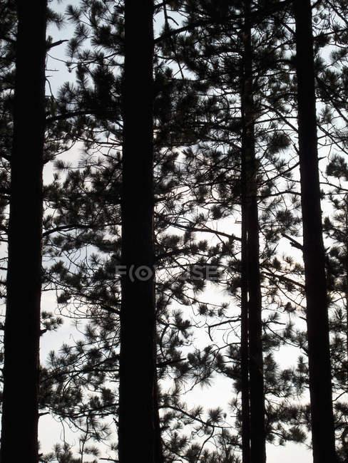 Tiro quadro completo de troncos de árvore de pinho silhueta contra o céu — Fotografia de Stock