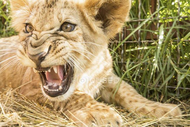 Close-up vista do filhote de Leão rugindo na grama — Fotografia de Stock