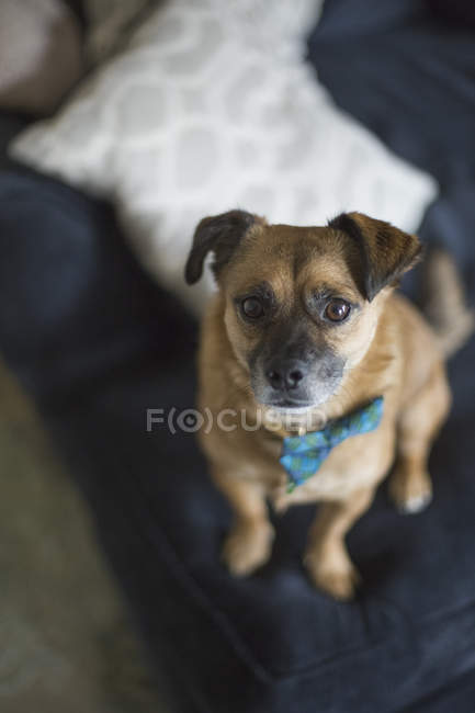 High angle portrait of dog sitting on sofa at home — Stock Photo