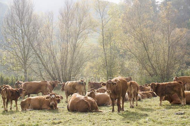Kühe mit Kälbern auf Feld an sonnigen Tag — Stockfoto