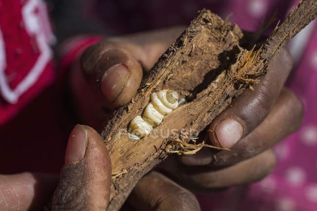 Кадроване зображення руки, що тримає зламана гілка з witchetty grub — стокове фото