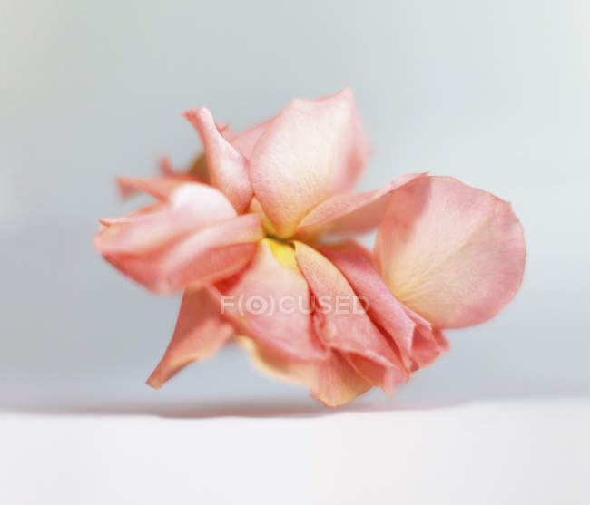 Nahaufnahme von rosa verwelkte Blume auf weißem Hintergrund — Stockfoto