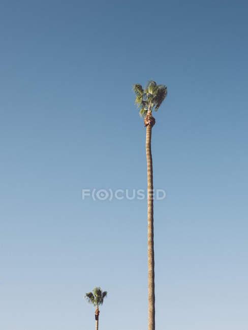 Palmeiras sunlit que crescem de encontro ao céu azul desobstruído — Fotografia de Stock