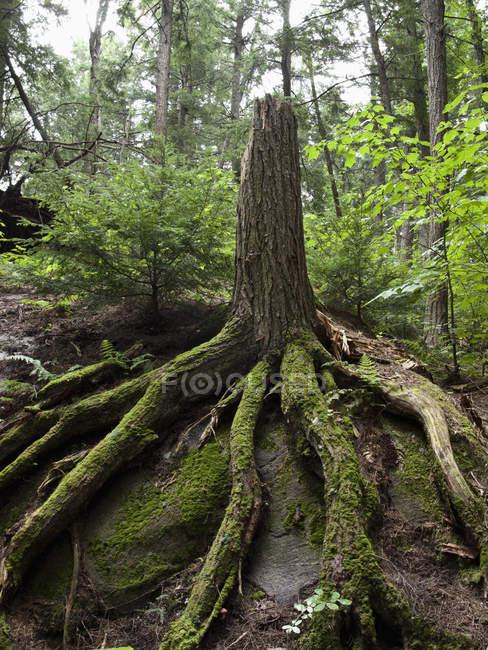 Arbre endommagé avec racines intactes en forêt — Photo de stock