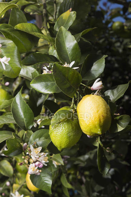 Close up view of lemons growing on tree — Stock Photo