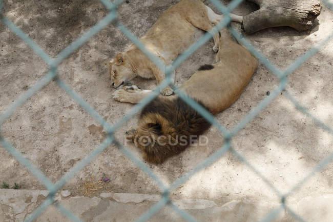 Переглянути через паркан chainlink левів, лежачи в зоопарку корпус — стокове фото