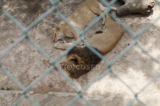 Вид через забор ограда Лайонс, лежа в зоопарке — стоковое фото